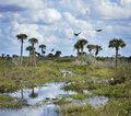 Florida wetlands scenic view with birds and alligators Stock Photos