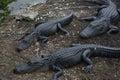 Florida& x27;s Aligator Royalty Free Stock Photo