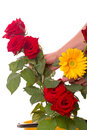 Florist hands with roses and gerber red yellow isolated on white background Stock Photography