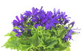 Florist s cineraria pictured purple in a white background Stock Images