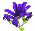Florist s cineraria pictured purple in a white background Royalty Free Stock Images