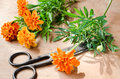 Floristic background with old vintage scissors and marigold flower. Royalty Free Stock Photo