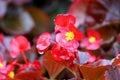 Florists бегонии цветут цвести Стоковая Фотография