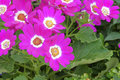 Florists cineraria Royalty Free Stock Photo