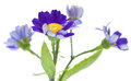 Florists cineraria isolated on white background Royalty Free Stock Photo