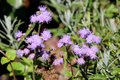 Floss flower or Ageratum houstonianum annual plant with softly hairy stems and fuzzy tufted blue to violet flowers on garden veget Royalty Free Stock Photo
