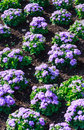 Floss flower awesome leilani blue or ageratum blue bouque in green background alchemilla epipsila Royalty Free Stock Photos