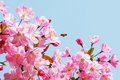 Flourish pink Chinese flowering crab apple flowers