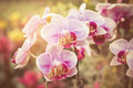 Flourishing branch of orchids with sunrise Royalty Free Stock Images