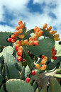 Flourishing cactus a blooming in cyprus Stock Image