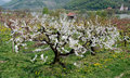 Flourishing cherry tree in the wachauvalley of the river danube austria Royalty Free Stock Image