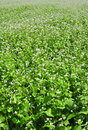 Flourishing field of buckwheat Stock Image