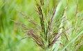 Flourishing grass Royalty Free Stock Photo