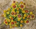 Flourishing indian blanket seen from above Stock Images