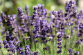 Flourishing lavender garden with the Royalty Free Stock Images
