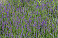 Flourishing lavender garden with the in france Royalty Free Stock Photo