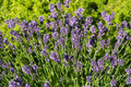 Flourishing lavender gardens with the Royalty Free Stock Photography