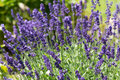 Flourishing lavender gardens with the Royalty Free Stock Images