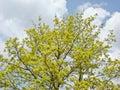 Flourishing maple Royalty Free Stock Photo
