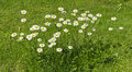 Flourishing marguerites small area of a lawn covered with marguerite Royalty Free Stock Photo