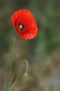Flourishing poppy wildflower on the green grey background Stock Photography