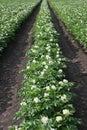 Flourishing potato plants Royalty Free Stock Photo