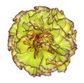 Flowe yellow-red  carnation  on a white isolated background with clipping path.   Closeup.  No shadows.  For design. Royalty Free Stock Photo