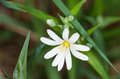 Flower of addersmeat in spring stellaria holostea Royalty Free Stock Images