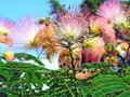 Flower albizia julibrissin beautiful exotic Stock Photos