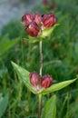 Flower in Allgäuer Alpen , Germany