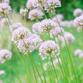 Flower allium rotundum nutans purple onions Royalty Free Stock Image