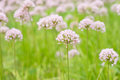 Flower allium rotundum nutans purple onions Royalty Free Stock Photo