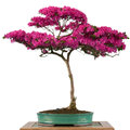 Flower of a alpine rose bonsai tree rhododendron hirsutum in pot Royalty Free Stock Image