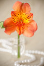 Flower of Alstroemeria Stock Image