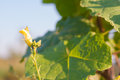 Flower of angled gourd and many ant image Royalty Free Stock Images