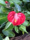 Flower anthurium in the garden my house Royalty Free Stock Photo