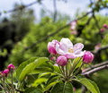 Flower of apple in a garden my friend Royalty Free Stock Images