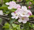 Flower of apple in a garden my friend Royalty Free Stock Photos