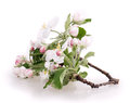 Flower apple tree isolated on white background Stock Image