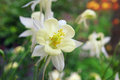 Flower Aquilegia