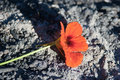 Flower from the ashes Royalty Free Stock Photos