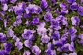 Purple Flower Background Royalty Free Stock Photo