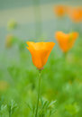 Flower background. Beautiful view of yellow tulips Royalty Free Stock Photo