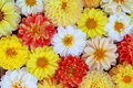 Flower background. Bouquet from white, red, yellow dahlias Royalty Free Stock Photo