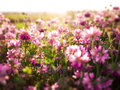 Flower background lot pink flowers Royalty Free Stock Photography