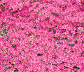 Flower background pink plant in spring time Stock Photos
