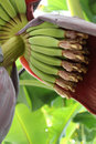 The Flower Of A Banana Tree