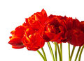 Flower beautiful bouquet of tulips isolated on white background Royalty Free Stock Images
