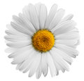 Flower beautiful daisy on white background clipping path Stock Photo