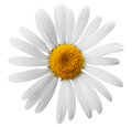 Flower beautiful daisy on white background clipping path Royalty Free Stock Photo